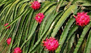 Фрукт питахайя (питайя, драгонфрут): вкус, полезные свойства, как едят